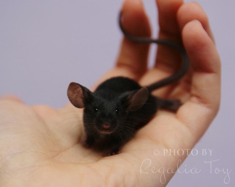 Сатиновые мыши уход и содержание